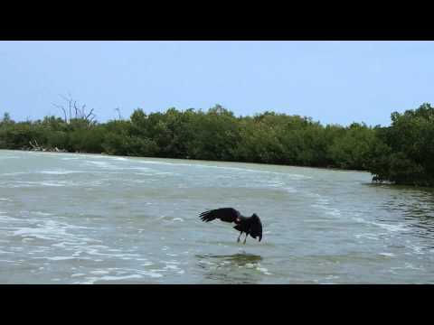 Schwarzer Seeadler greift Fisch - Ría Lagartos Biosphere Natural Park - Yucatan - Mexiko