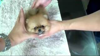 Teacup Pomeranian For Sale Teacup Puppies Teacup Yorkie Puppy For Sale