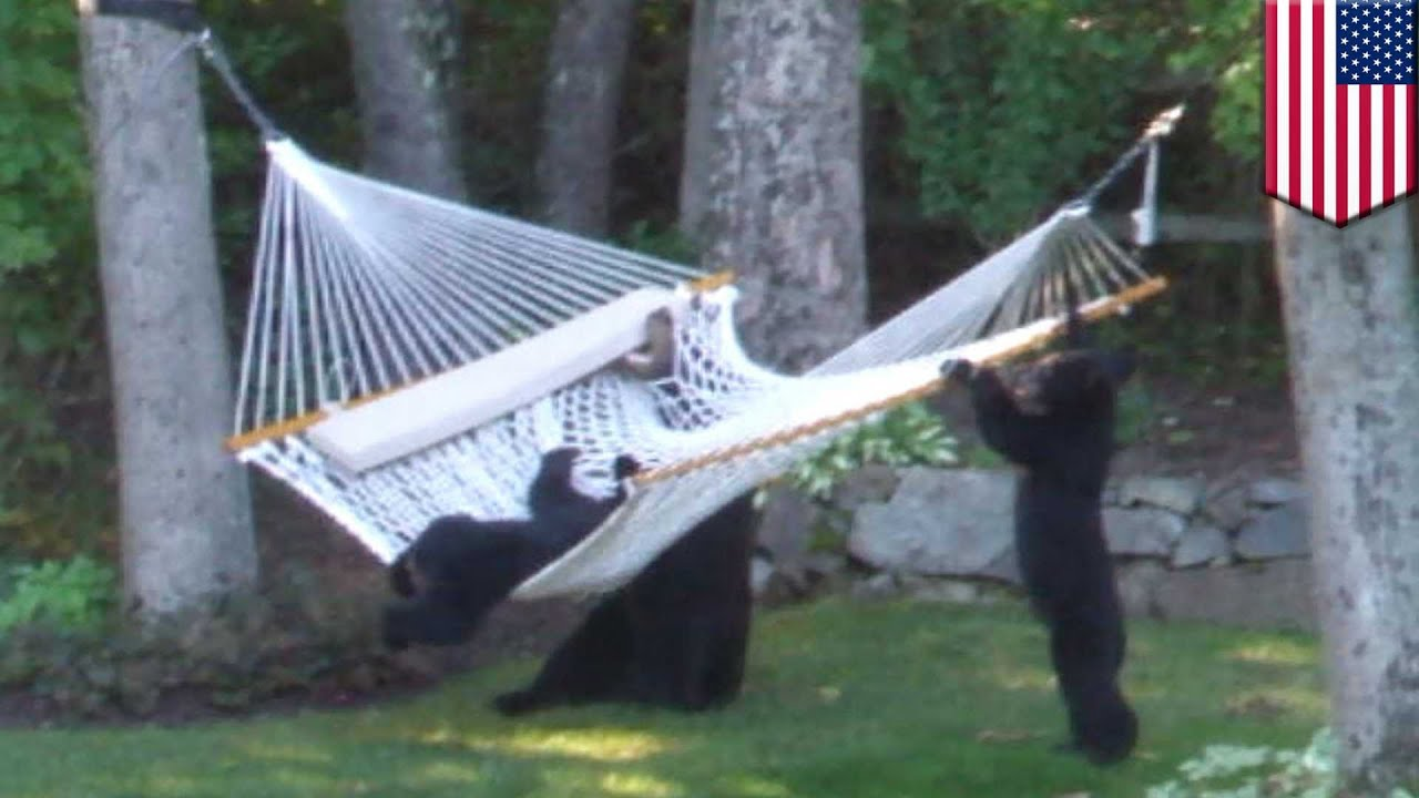 Bears playing on hammock videoed in new jersey bear cubs and mother mess around tomonews for Bears in swimming pool new jersey