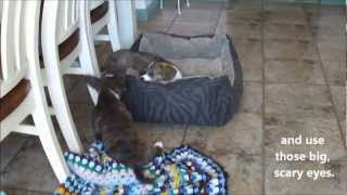 Play Fighting Tips For Cute Puppies (cardigan Welsh Corgi's Fos And Ebo At 10 Weeks)