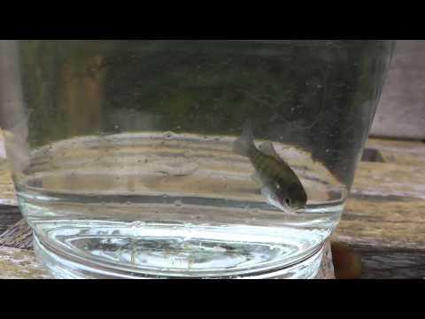 Lepomis gibbosus 08.10.2012