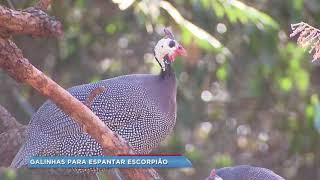 Criação de galinhas d' angola em condomínio de Bauru ajuda a combater escorpiões