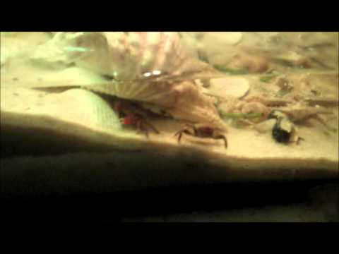 Pet Red Claw Crab VS. Fiddler Crab Standoff HD