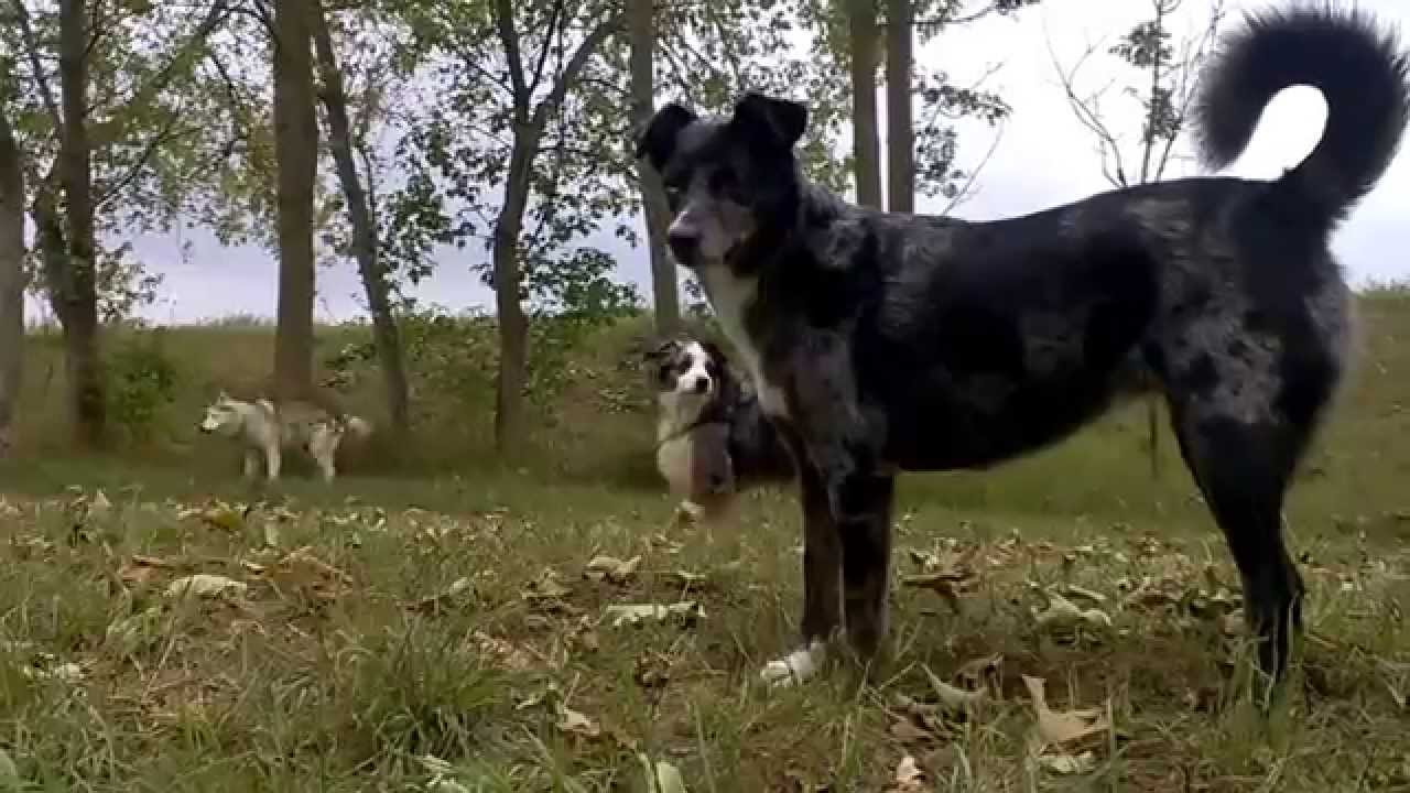 Hunde Bellen Video