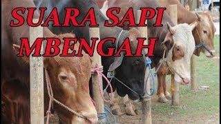 Video Suara SAPI Mbengah - Sapi Limusin Sapi Simental download MP3, 3GP, MP4, WEBM, AVI, FLV Oktober 2018