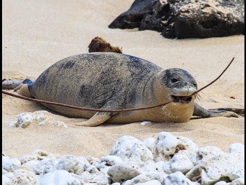 Hawaiian Monk Seal Advocacy - Protecting Endangered Animals