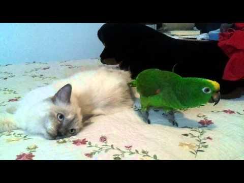 Amazon parrot preening persian kitten