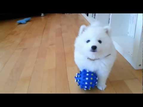 Diesel, cutest Japanese Spitz pup plays n poses