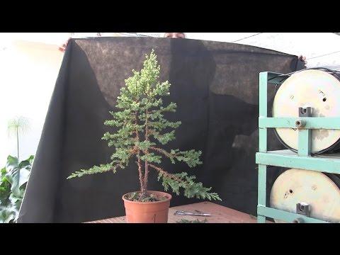 Cómo hacer un bosque bonsai - Árbol principal