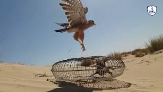 صيد صقر العوسق رائع/صيد شرياص بتصوير hdممتاز/ hunting falcon baz