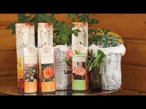 Розы из коробки  Когда сажать в грунт и как обрезать