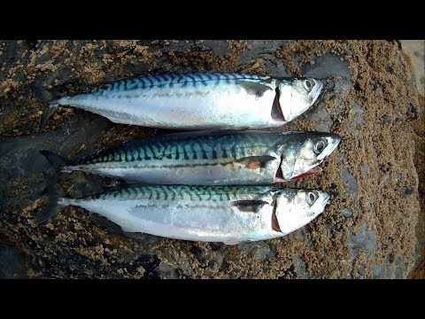 Catch, Dispatch, Clean, Fillet, And Pickle Mackerel
