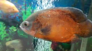 Самый красивый аквариум на 2000 литров. Самые большие аквариумные рыбки / Aquarium of 2000 liters