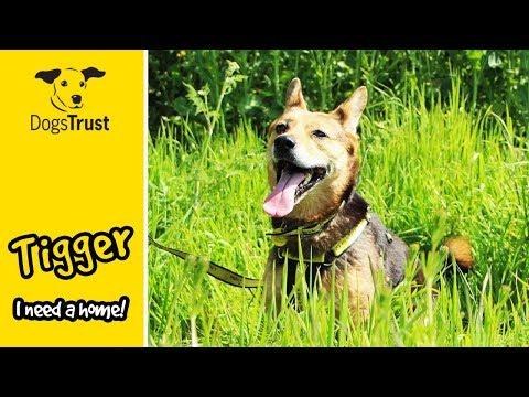Tigger the German Shepherd Alsatian Cross is Looking For a Home | Dogs Trust Darlington