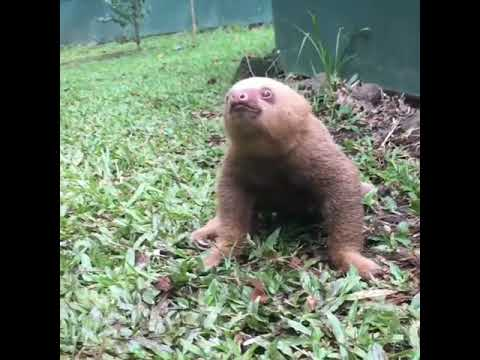 Jim Show -  Baby Sloths Make A Weird Noise