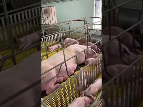Cận Cảnh Thử Nghiệm Vắc Xin Dịch Tả Lợn Châu Phi ở Tỉnh Hưng Yên Phần 3 (video Nhân Vật Cung Cấp)