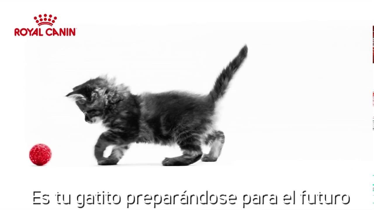 +kota: Alimento para gato Royal Canin