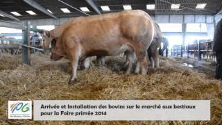 Foire primée 2014 : Arrivée et installation des bovins sur le Marché aux bestiaux