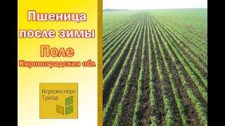 Март Кировоградская обл  Пшеница после зимы, обработанная гуматом