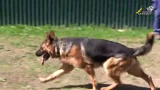 Немецкая овчарка - дрессировка возбудимой собаки, рысь и галоп на обходе