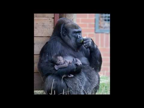 Gorilla family has a new baby in the Twycross Zoo
