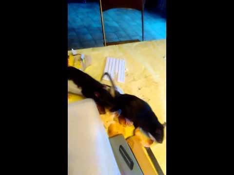 Accouplement de rats
