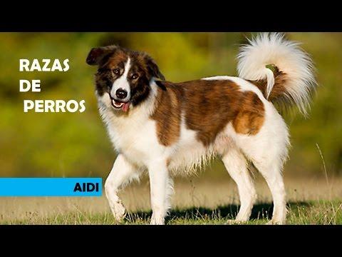 RAZAS DE PERROS AIDI, PERRO DE MONTAÑA DEL ATLAS, PERRO DE PASTOR DEL ATLAS, ATLAS MOUNTEAIN DOG