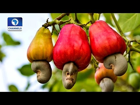 Community Report: Isanlu-Isin Boasts Of Robust Cashew Plantation