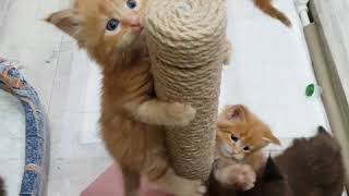 "Пометы ""Л"" и ""М"" (1 месяц). Как растут котята мейн-кун в питомнике. (mainecoon cattery)"