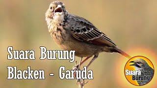suara burung Garuda, blacken jawara dan burung master