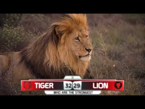 Tiger VS Lion    Who Are The Strongest Big Cat