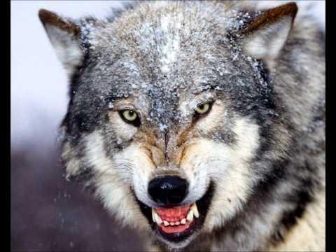Der Böse Wolf Zdf