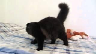 шотландские котята. Хайленд фолд кошечка.