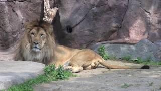 天王寺動物園 元気がないライオン thumbnail