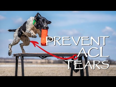 Hunting Dog Health  Prevent ACL Tears  You Ask We Answer Episode 8: Part 1