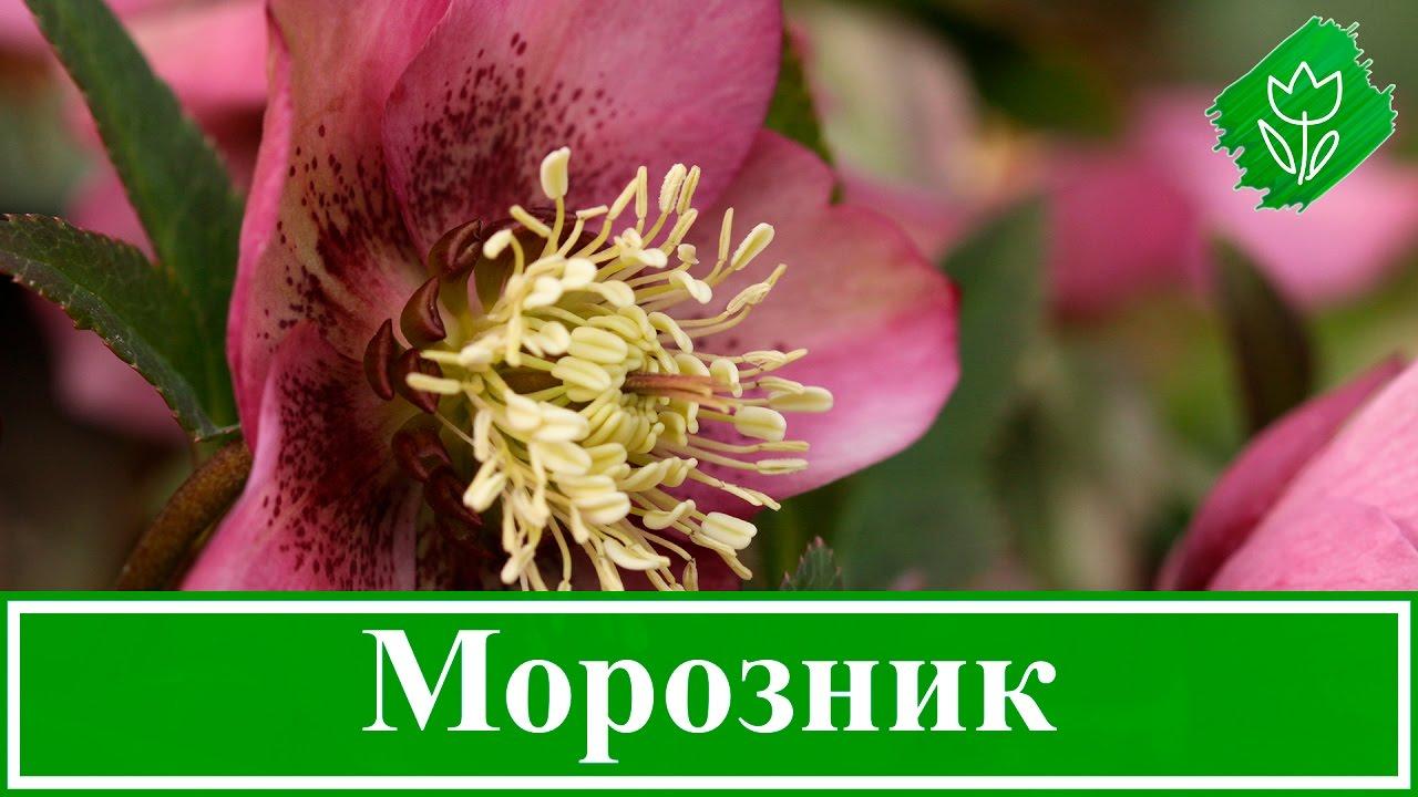 15 окт 2017. Травянистое многолетнее растение морозник (helleborus) имеет прямое отношение к семейству лютиковые. По различным данным этот род объединяет 14–22 вида.
