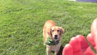 Собака учится ловить еду