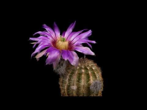 time-lapse-echinocereus-reichenbachii-subsp.-caespitosus,-usa,-texas,-blanco-county-(4k)