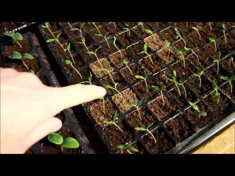 видео: № 4  Поливаем рассаду томата