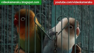 Enjoy Lovebirds Sounds - 1 Hour Live Recording