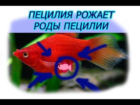 аквариумные рыбки пецилии фото