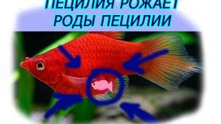 Пецилия РОЖАЕТ!!! РОДЫ пецилии  Роды живородящих рыбок