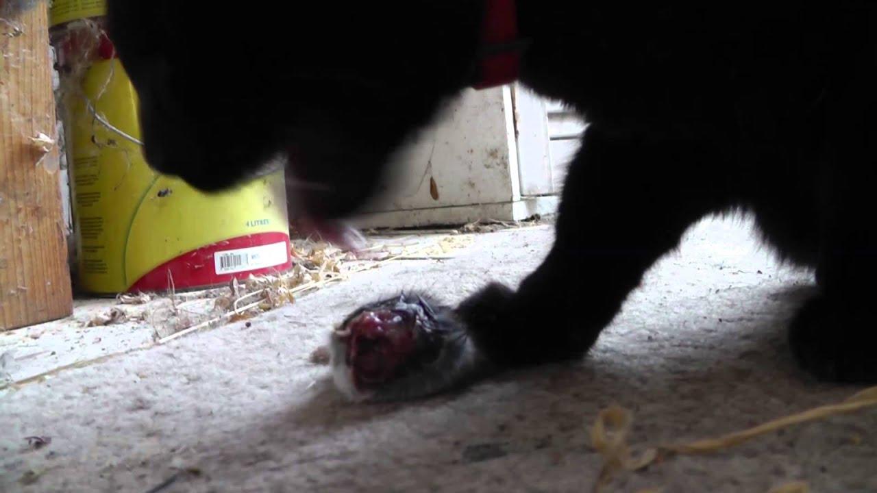 V Mouse Eating Scene Cat eats mouse ultra c...