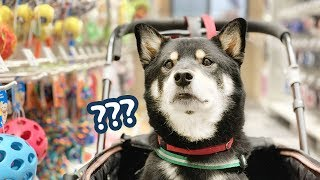 Buying my shibainu everything he touches (brithday party)