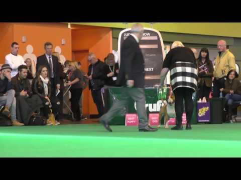 Crufts Dog show 2017 Miniature Bull Terriers Junior Dog