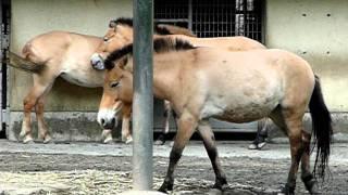 モウコノウマ(蒙古野馬、Przewalski