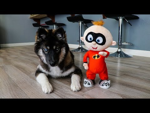 Funny Dog Kakoa vs Baby Jack Jack!