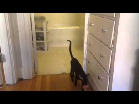 Oriental Shorthair Plays Fetch