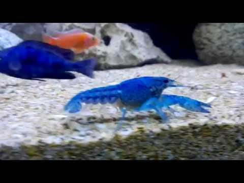 Blue Lobster With Cichlid Fish
