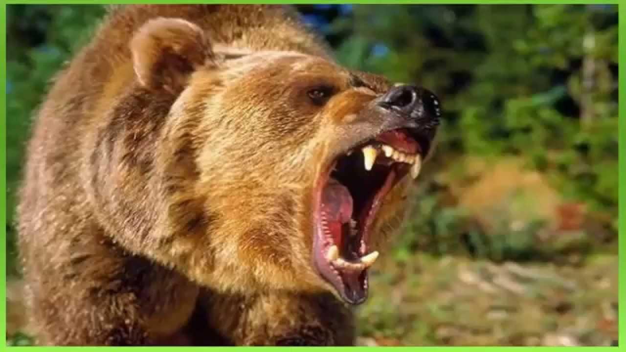 efeito sonoro, rugido de urso - sound effect, Bear roar ...